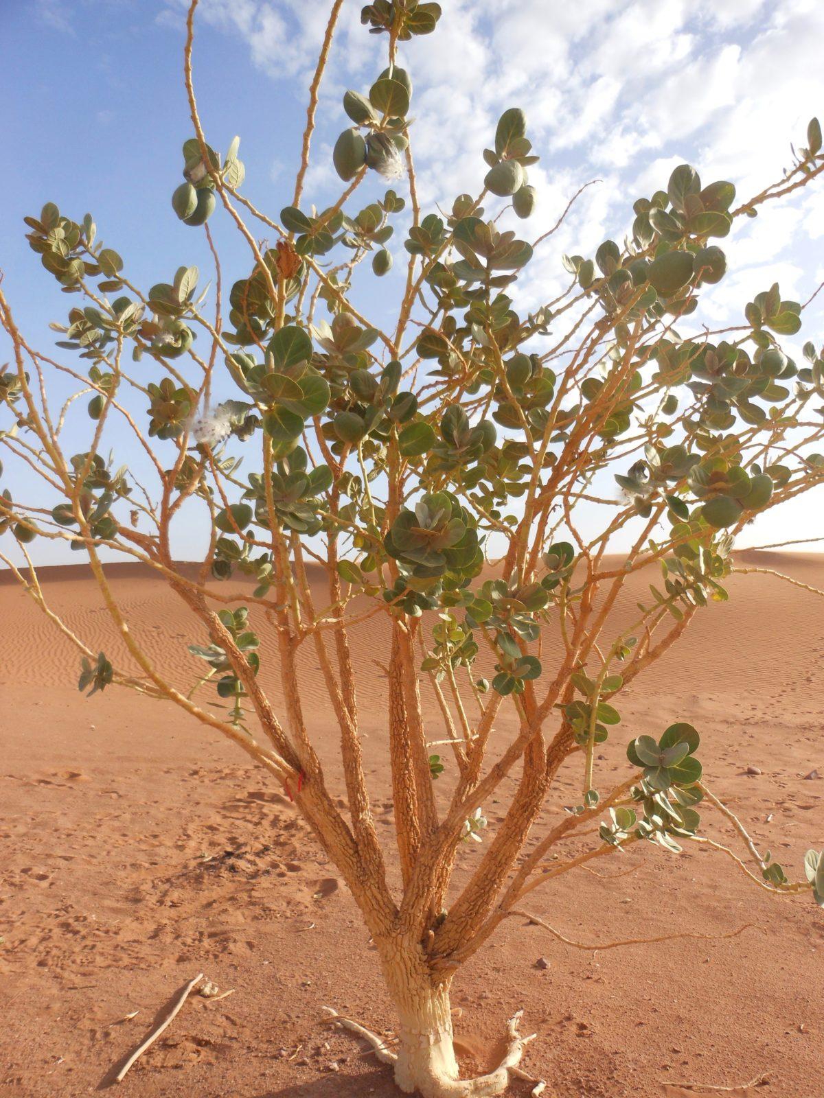 Euphorbe dans le désert